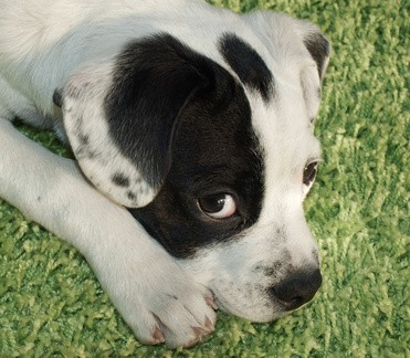 schwarzweisser-Hund_11782996_XS[1]